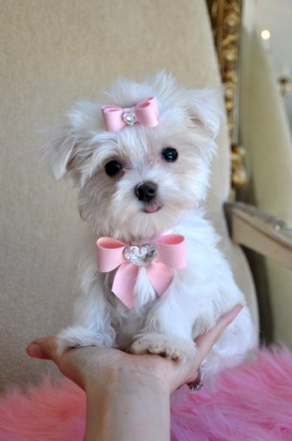 Free Teacup Maltese Puppies For Adoptionmn for Pinterest